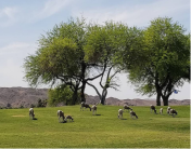 Big horn sheep at entrance to our campground in Yuma