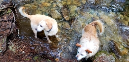 Ringo and Maverick enjoying a stream on one of the hikes